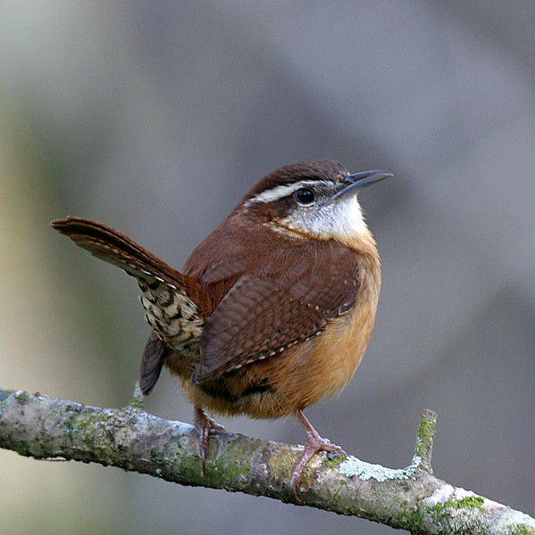 Yellow Ribbon<br /> Advanced Color Class<br /> Carolina Wren<br /> Mike Landwehr