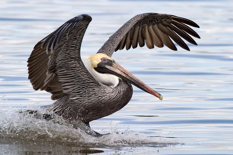 Yellow Ribbon<br /> Advanced Color Class<br /> Brown Pelican Landing<br /> Mike Landwehr