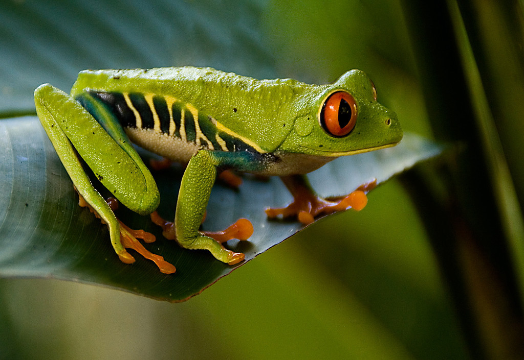 Blue Ribbon<br /> Advanced Color Class<br /> Green Tree Frog Sits<br /> Dana Vannoy