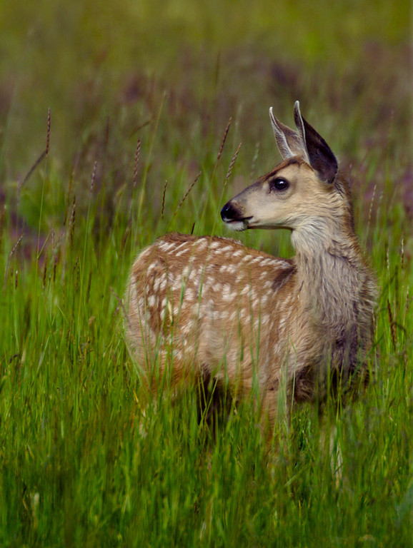 Blue Ribbon<br /> Beginner Color Class<br /> Spotted Fawn<br /> Della Landheer