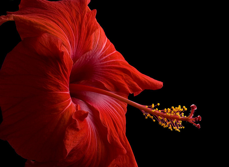 Blue Ribbon<br /> Advanced Color Class<br /> Hibiscus Splendor<br /> Mike Landwehr