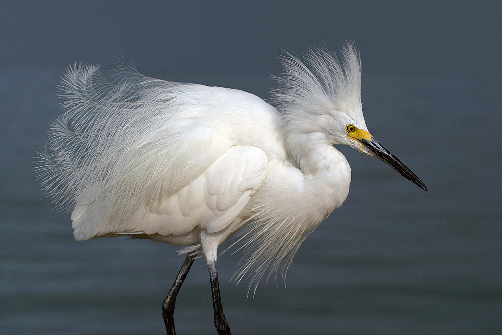Blue Ribbon<br /> Advanced Color Class<br /> Snowy Egret in Breeding Plumage<br /> Mike Landwehr