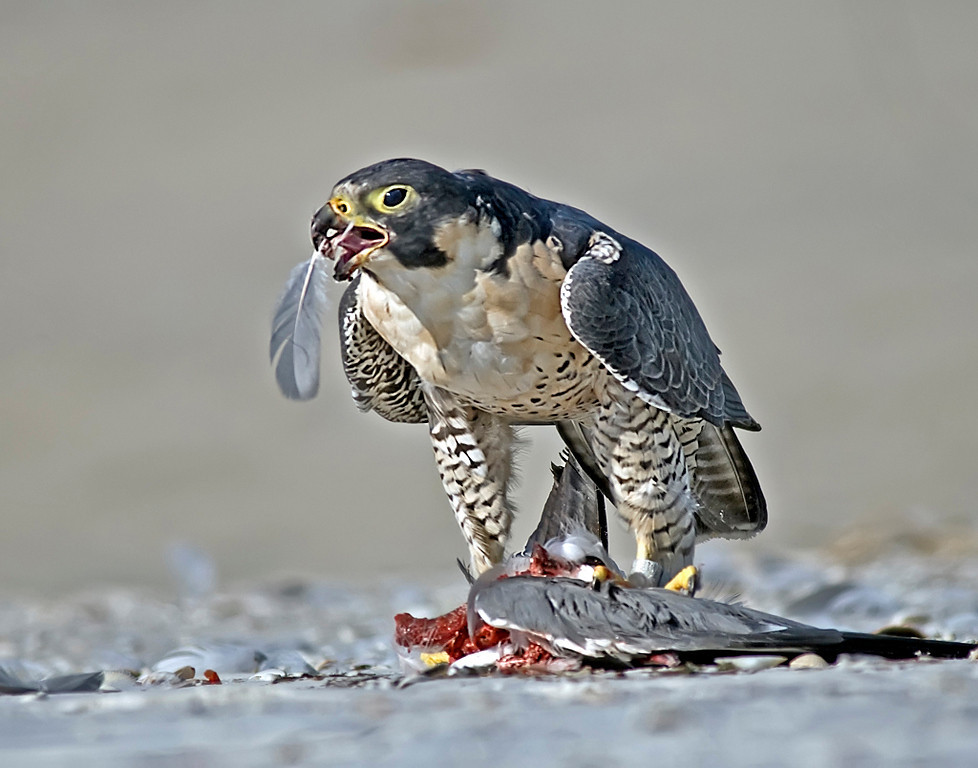 Yellow Ribbon<br /> Beginner Color Class<br /> Peregrine Falcon and Prey<br /> Nancy Springer