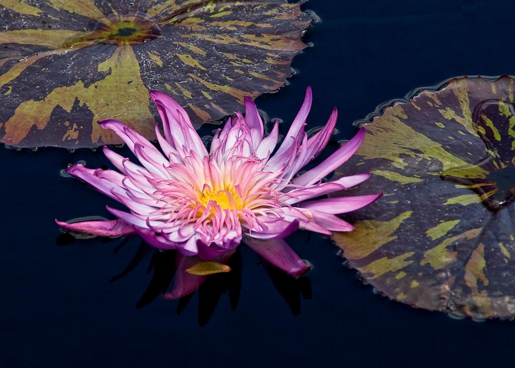 Blue Ribbon<br /> Beginner Color Class<br /> Lily on the Pond<br /> Nancy Springer