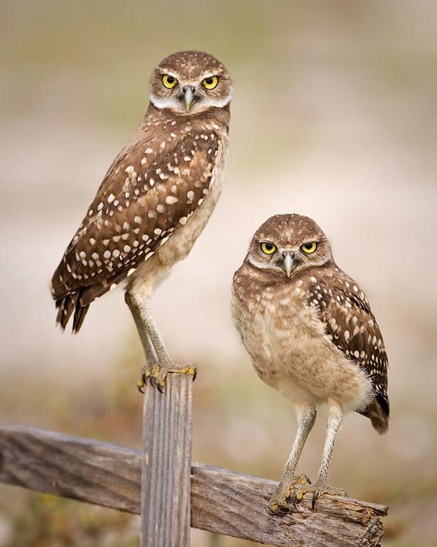 Blue Ribbon<br /> Advanced Color Class<br /> Juvenile Burrowing Owls<br /> Mike Landwehr