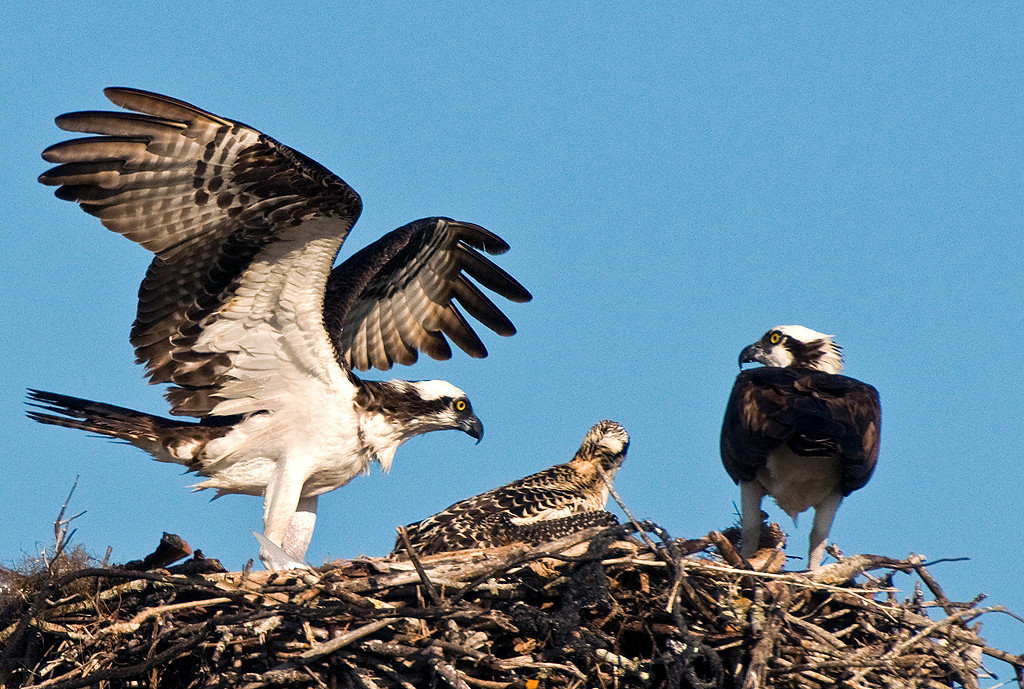 Yellow Ribbon<br /> Beginner Color Class<br /> Osprey Nesting<br /> Ed Cohen