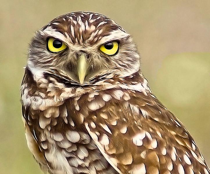 Blue Ribbon<br /> Advanced Color Class<br /> Burrowing Owl<br /> Nancy Springer