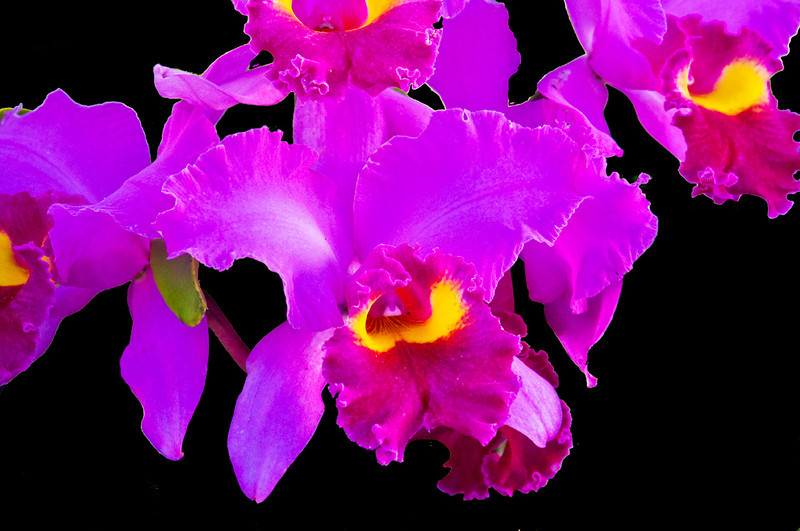 Yellow Ribbon<br /> Beginner Color Class<br /> Cattleya Orchid<br /> Ed Cohen