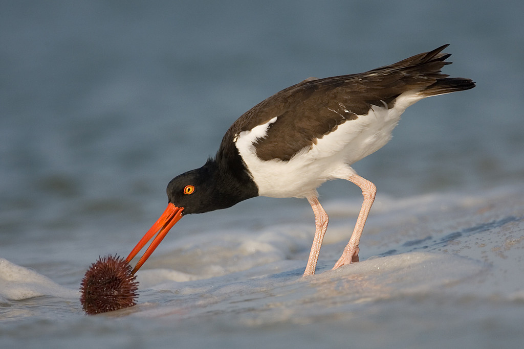 Blue Ribbon<br /> Advanced Color Class<br /> Oystercatcher in the Surf<br /> Mike Landwehr