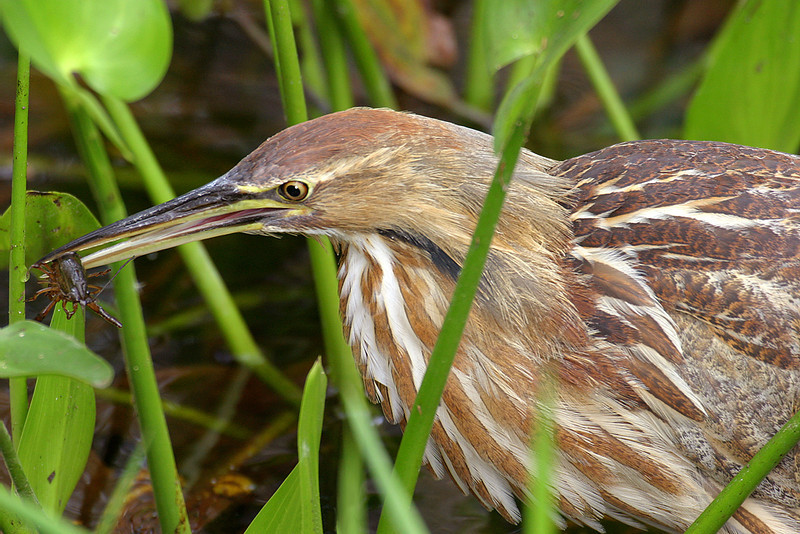 Yellow Ribbon<br /> Advanced Color Class<br /> American Bittern<br /> Mike Landwehr