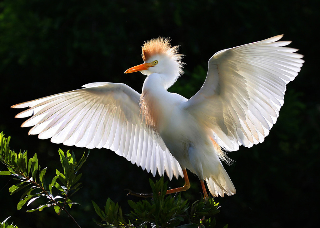 First Place<br /> Advanced Color Class<br /> Cattle Egret at Sunrise<br /> Liz Keery