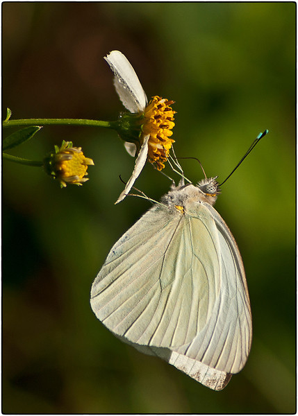 Yellow Ribbon<br /> Advanced Color Class<br /> Great Southern White<br /> Nancy Springer