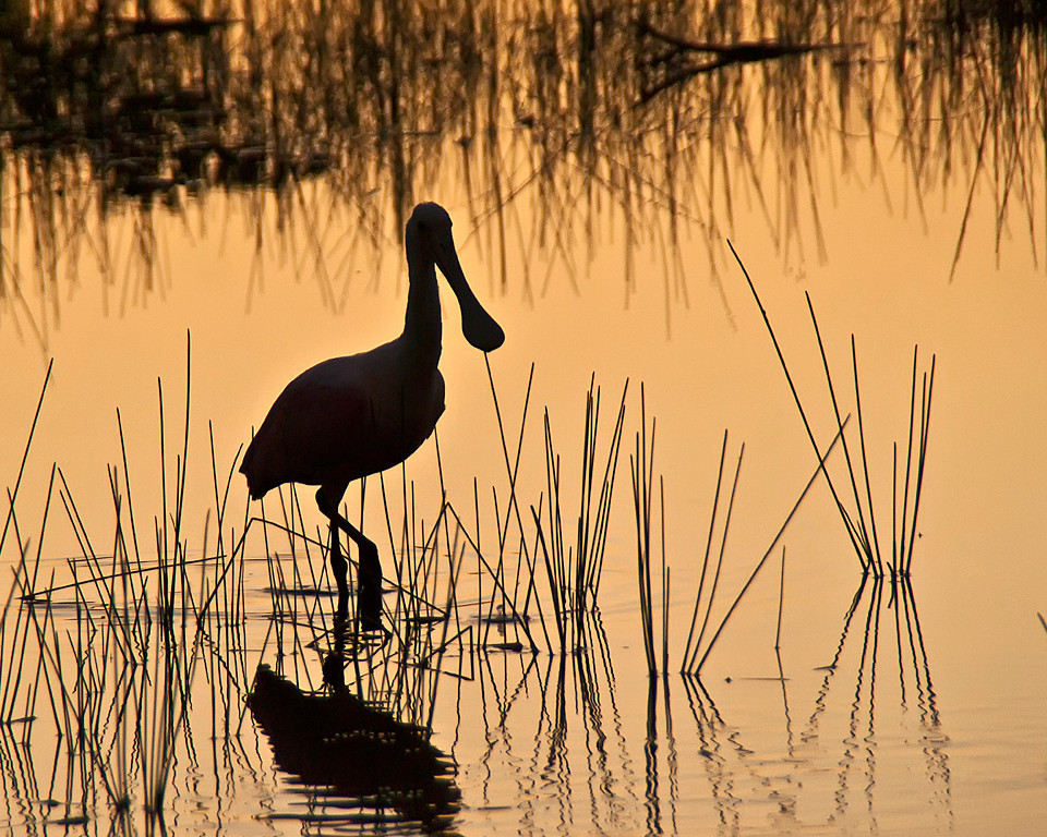 Yellow Ribbon<br /> Advanced Color Class<br /> Spoonbill Silhouette<br /> Nancy Springer