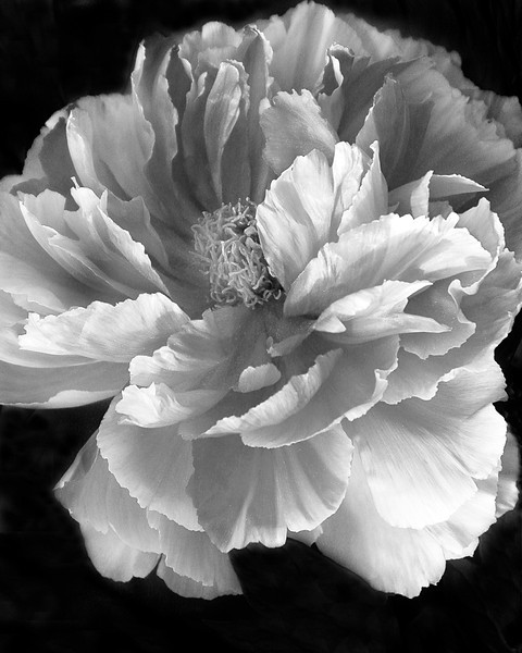 Third Place<br /> Beginner Monochrome Class<br /> Peony<br /> Dave Garrison