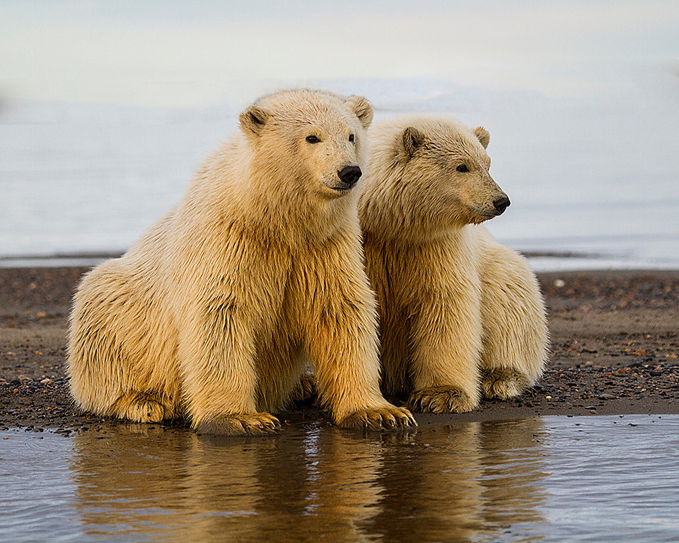 Blue Ribbon<br /> Advanced Color Class<br /> Two Young Bear Cubs<br /> Carol Williamson