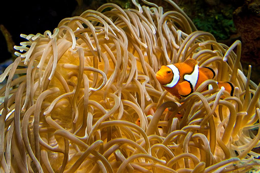 Yellow Ribbon<br /> Advanced Color Class<br /> Clown Fish<br /> Dave Garrison
