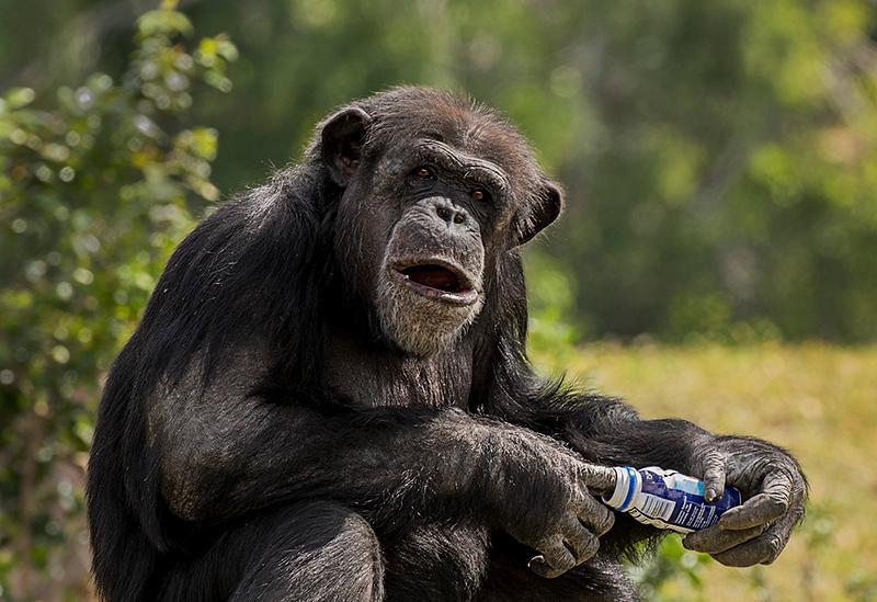 Digital Competition<br /> Advanced Color<br /> Yellow Ribbon<br /> Chimpanzee<br /> Nancy Springer