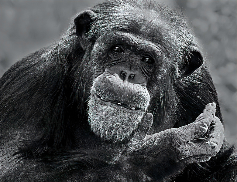 Print Competition<br /> Advanced Monotone Class<br /> Red Ribbon<br /> Chimpanzee II<br /> Nancy Springer