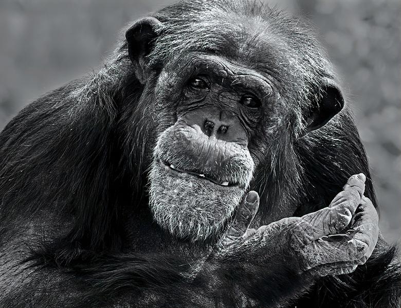 Print Competition<br /> Advanced Monotone Class<br /> Red Ribbon<br /> Chimpanzee II<br /> Nancy Springer