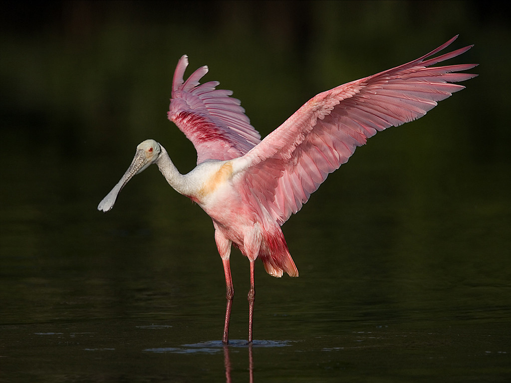 Third Place<br /> Roseate Spoonbill<br /> Mike Landwehr