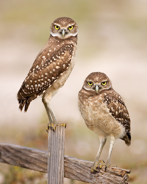 First Place<br /> Class A Print of the Year<br /> Juvenile Burrowing Owls<br /> Mike Landwehr