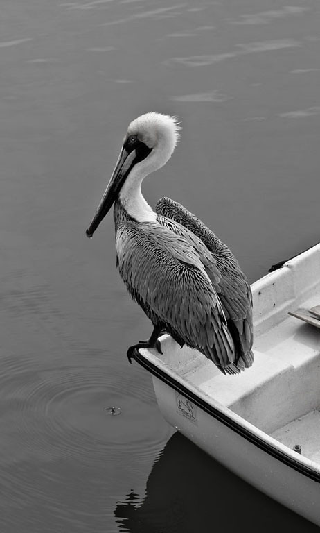 Honorable Mention<br /> Pelican<br /> Dan Butchko