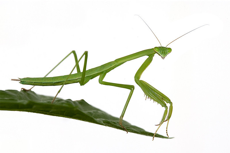 Honorable Mention<br /> Praying Mantis<br /> Mike Landwehr