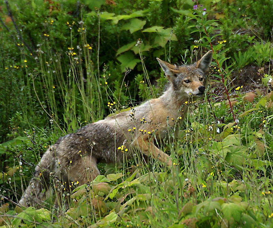 Honorable Mention<br /> Elusive Coyote<br /> Della Landheer