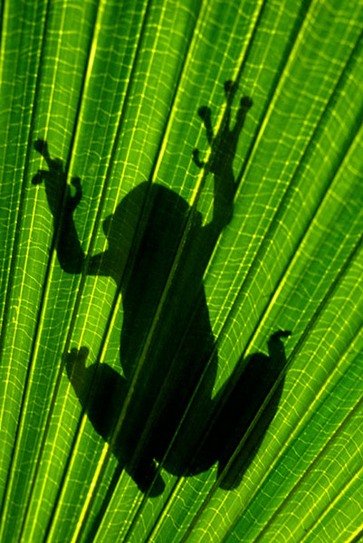Third Place (Tie)<br /> Green Tree Frog Silhouette<br /> Bob Bachand