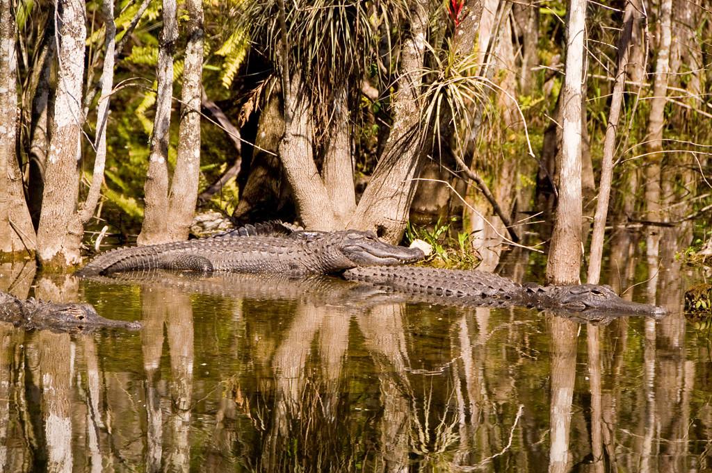 Third Place (Tie)<br /> Alligator Sunning<br /> Ed Cohen