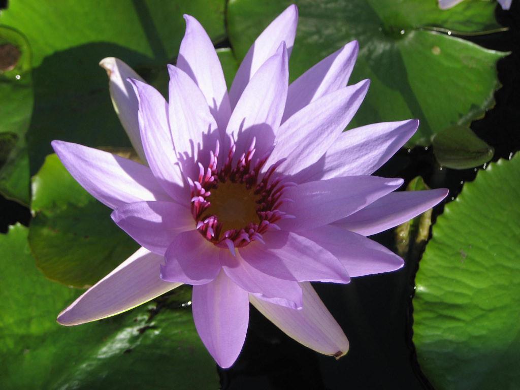 Third Place (Tie)<br /> Water Lily<br /> Arlene Oppenheim