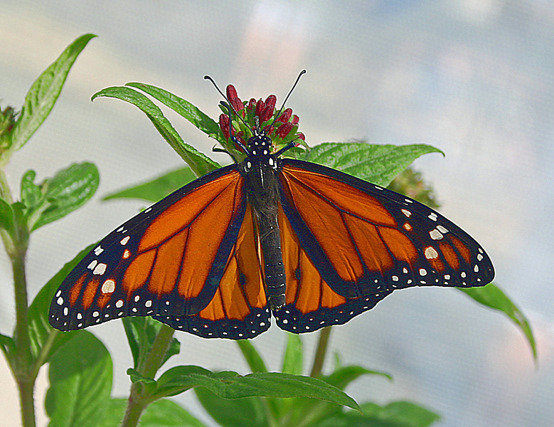 Third Place (Tie)<br /> Busy Monarch<br /> Gail Crichton