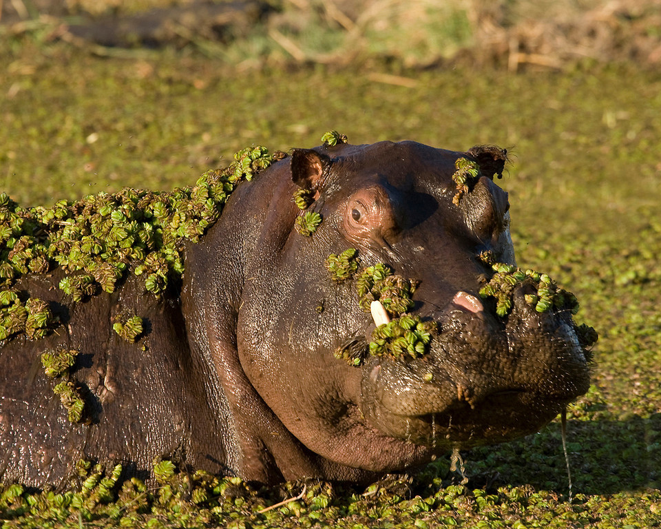 Second Place (Tie)<br /> Hippo in the Greens<br /> Carol Williamson