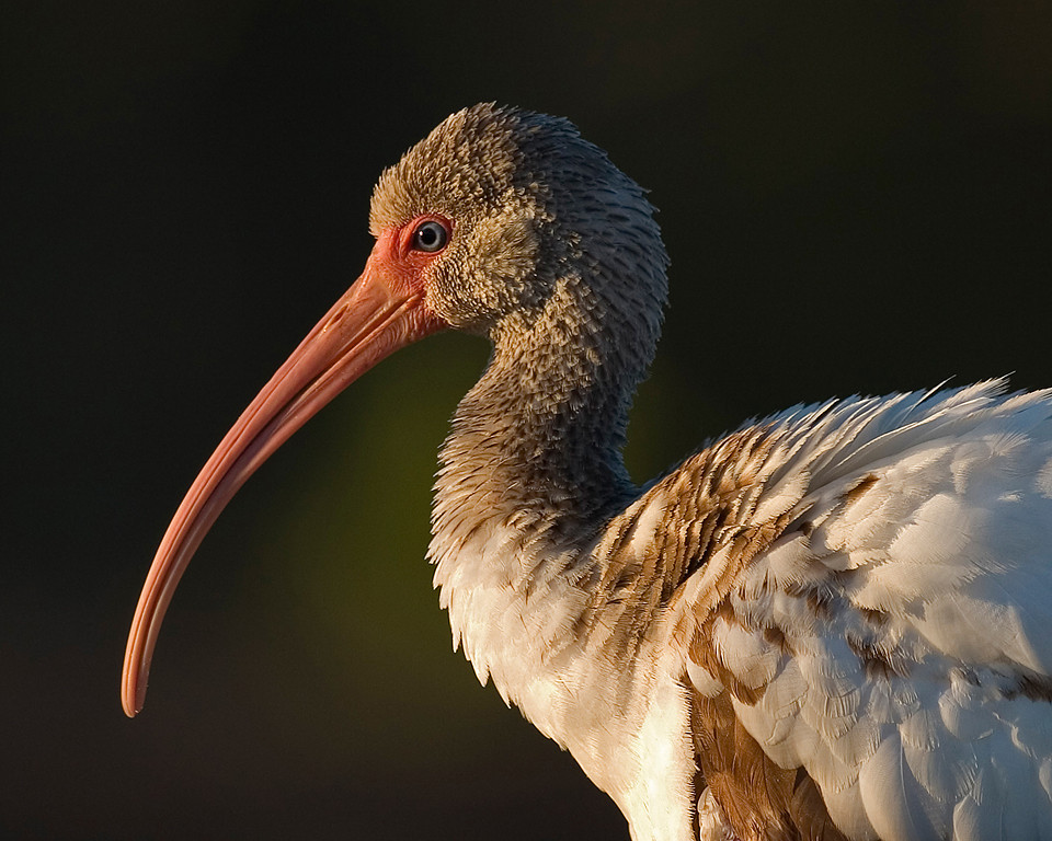Second Place (Tie)<br /> Immature White Ibis<br /> Mike Landwehr