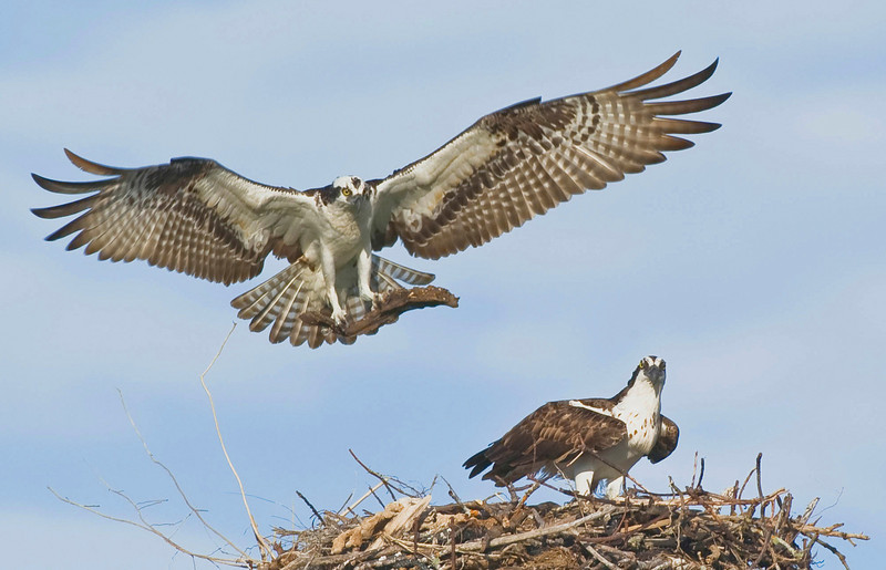 First Place<br /> Osprey Nesting<br /> Ed Cohen