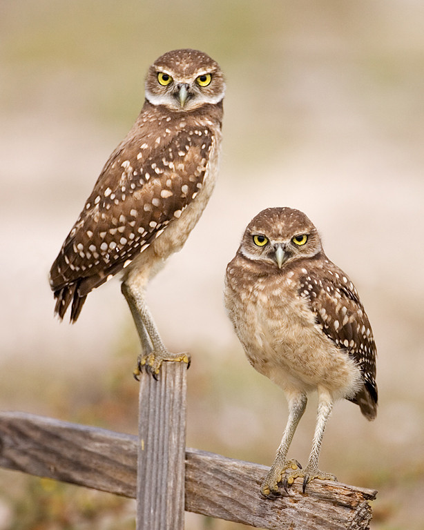 First Place<br /> Juvenile Burrowing Owls<br /> Mike Landwehr