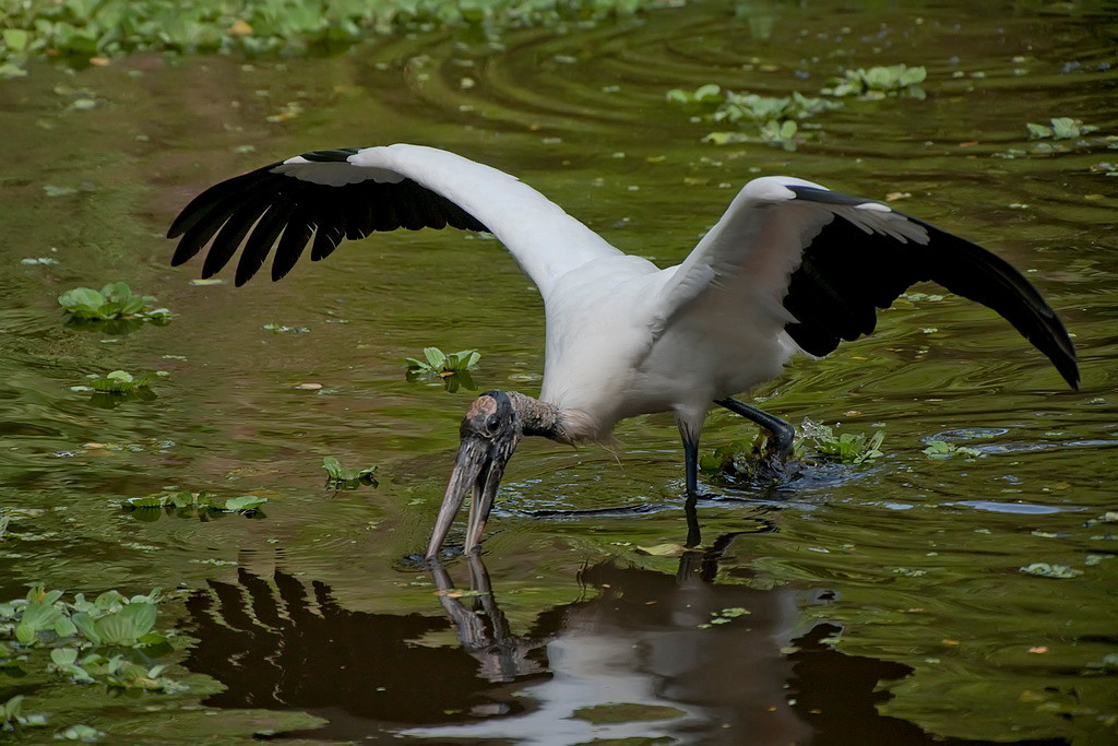 Third Place (Tie)<br /> Wood Stork Wing Span<br /> Dana Vannoy