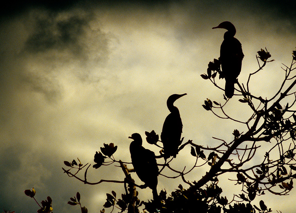 Honorable Mention<br /> Cormorants Stormy Sky<br /> Bob Bachand