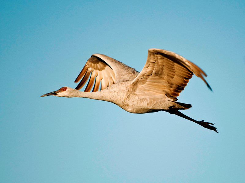 Second Place (Tie)<br /> Sand Hill Crane<br /> Ed Cohen