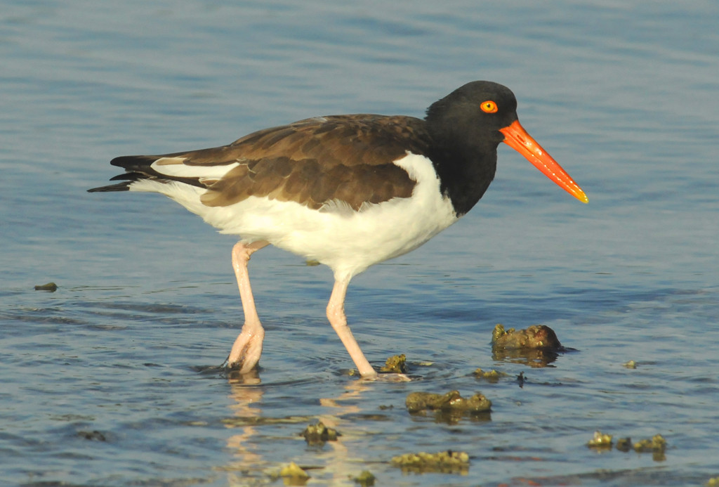 Second Place (Tie)<br /> American Oyster Catcher<br /> Ed Cohen