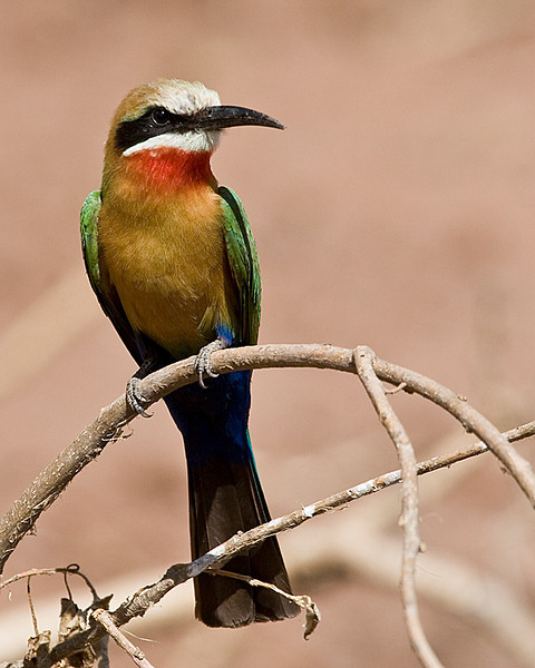 Third Place (Tie)<br /> White Fronted Bee Eater<br /> Carol Williamson