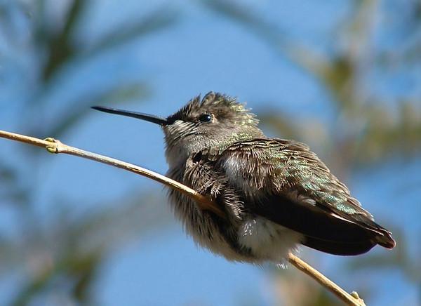 Third Place (Tie)<br /> Hummingbird<br /> Della Landheer