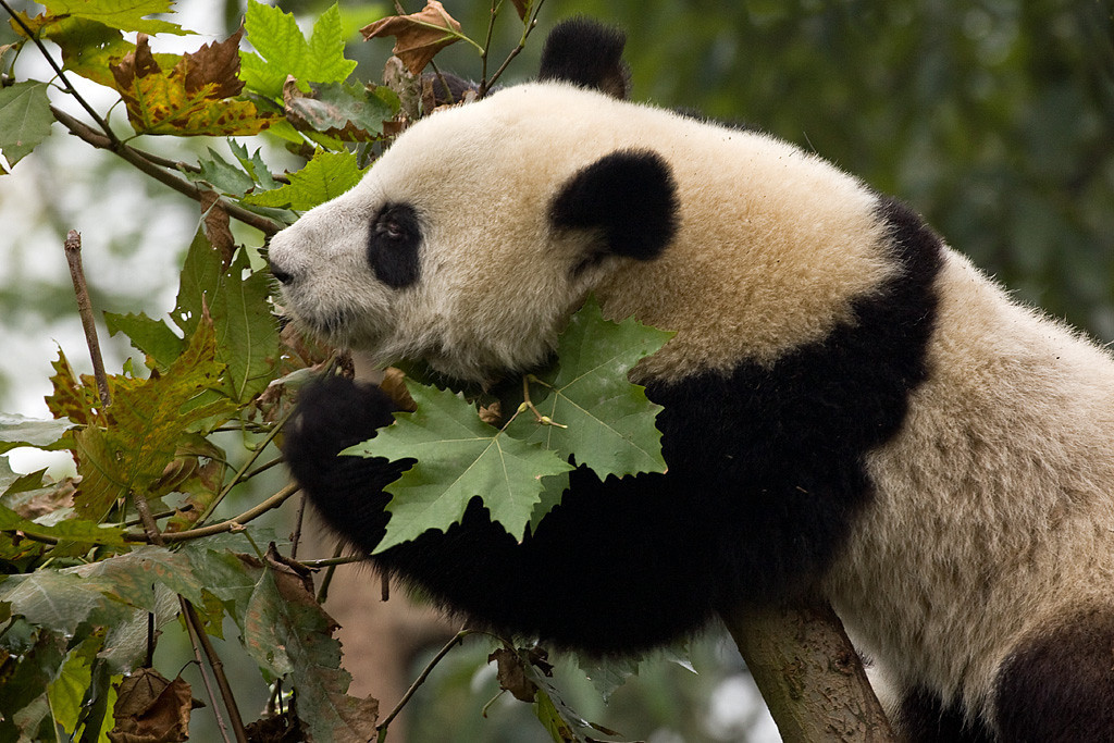 Third Place (Tie)<br /> Panda Reaching<br /> Dana Vannoy
