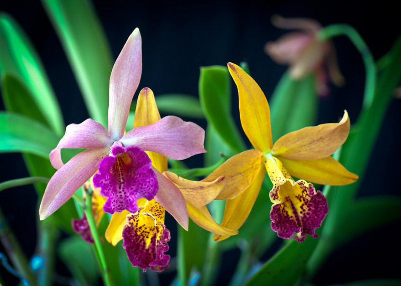 Honorable Mention<br /> Orchids<br /> Hal Schillreff