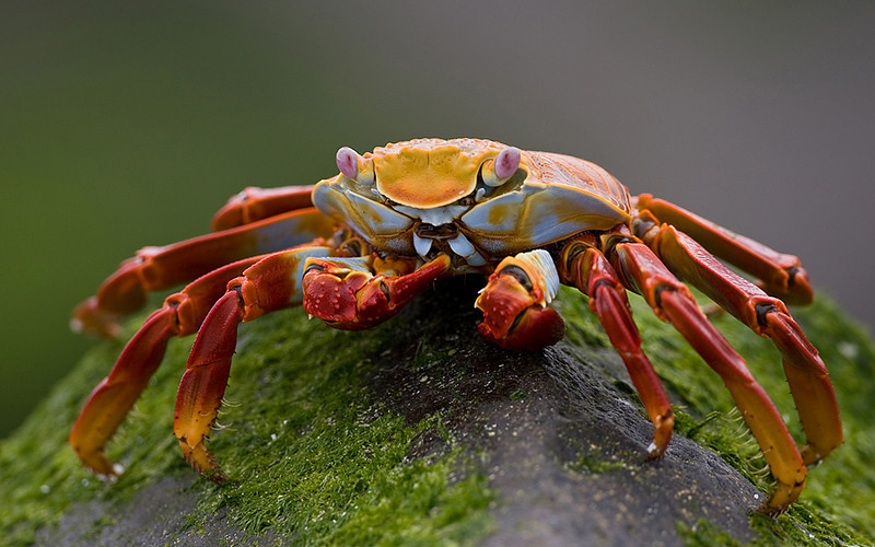 Third Place in Nature Class<br /> Sally Lightfoot Crab<br /> Mike Landwehr