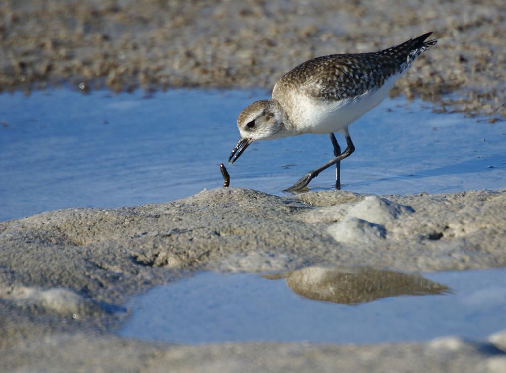Honorable Mention<br /> Shore Birds<br /> Della Landheer