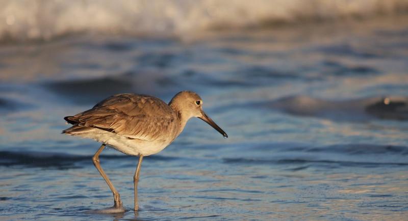 First Place<br /> Shorebirds<br /> Paula Blackeby