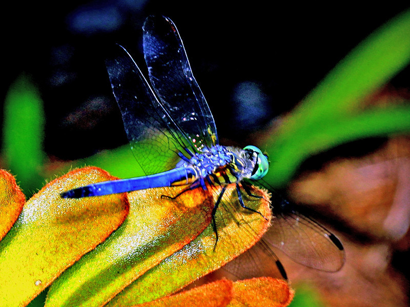 First Place (Tie)<br /> Blue Dragon Fly<br /> Nic Provenzo