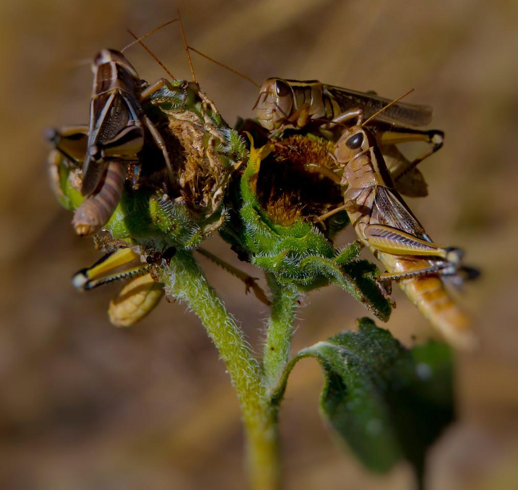 Third Place<br /> Grasshopper Lunch<br /> Jay Feldman