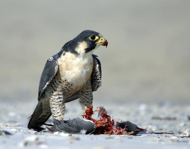 Second Place<br /> Peregrine Falcon<br /> Della Landheer